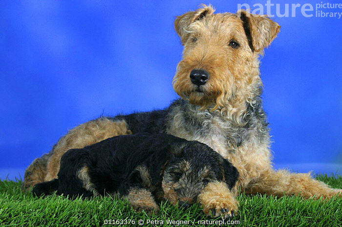 Domestic dog, Welsh Terrier with sleepy puppy, 7 weeks old  ,  BABIES,BABY,CUTE,DOGS,FAMILIES,JUVENILE,LYING DOWN,PEDIGREE,PETS,PUPPIES,PUPPY,STUDIO,TERRIERS,VERTEBRATES,Canids  ,  Petra Wegner