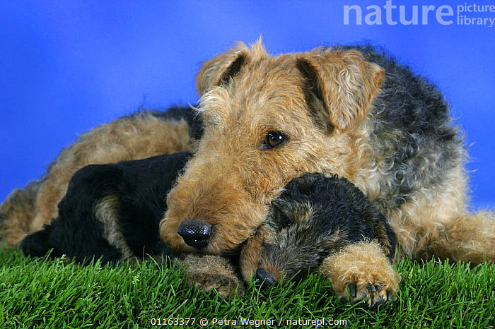 Domestic dog, Welsh Terrier with puppy, 7 weeks  ,  BABIES,BABY,CUTE,DOGS,FAMILIES,JUVENILE,LYING DOWN,PEDIGREE,PETS,PUPPIES,PUPPY,STUDIO,TERRIERS,VERTEBRATES,Canids  ,  Petra Wegner