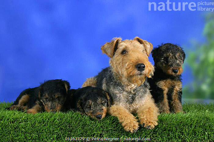 Domestic dog, Welsh Terrier with three puppies, 7 weeks old  ,  BABIES,BABY,CUTE,DOGS,FAMILIES,JUVENILE,LYING DOWN,PEDIGREE,PETS,PUPPIES,PUPPY,SLEEPING,SLEEPY,STUDIO,TERRIERS,VERTEBRATES,Canids  ,  Petra Wegner