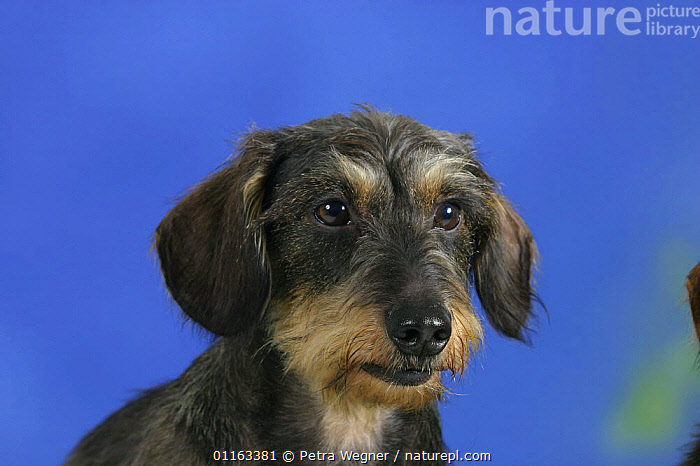Domestic dog, Wirehaired Dachshund  ,  DOGS,FACES,HEADS,HOUNDS,PEDIGREE,PETS,STUDIO,VERTEBRATES,Canids  ,  Petra Wegner