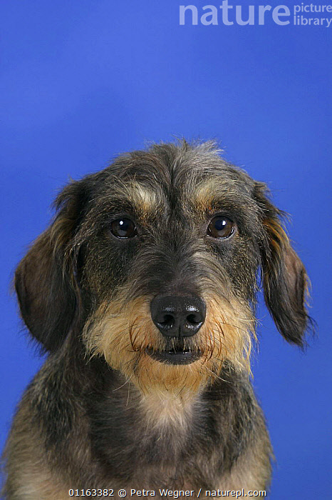 Domestic dog, Wirehaired Dachshund portrait  ,  CUTE,DOGS,FACES,HOUNDS,PEDIGREE,PETS,STUDIO,VERTEBRATES,VERTICAL,Canids  ,  Petra Wegner