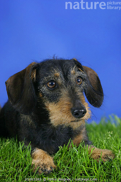 Domestic dog, Wirehaired Dachshund  ,  DOGS,FACES,HEADS,HOUNDS,LYING DOWN,PEDIGREE,PETS,STUDIO,VERTEBRATES,VERTICAL,Canids  ,  Petra Wegner