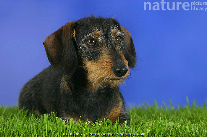 Domestic dog, Wirehaired Dachshund  ,  DOGS,FACES,HOUNDS,PEDIGREE,PETS,STUDIO,VERTEBRATES,Canids  ,  Petra Wegner