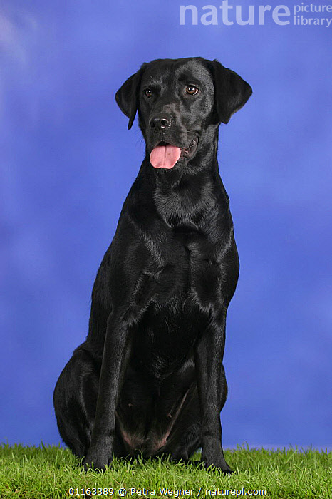 Domestic dog, black Labrador Retriever  ,  DOGS,GUNDOGS,PANTING,PEDIGREE,PETS,SITTING,SPORTING,STUDIO,VERTEBRATES,VERTICAL,Canids  ,  Petra Wegner