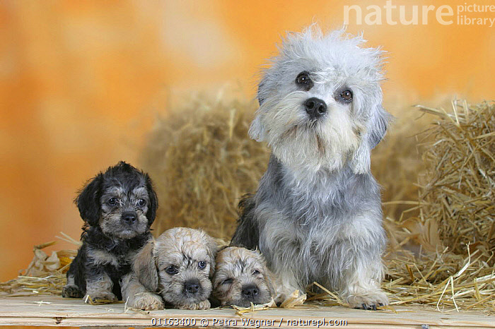 Domestic dog, Dandie Dinmont Terrier with three puppies, 6 weeks  ,  BABIES,BABY,CUTE,DOGS,FAMILIES,JUVENILE,LYING DOWN,PEDIGREE,PETS,PUPPIES,PUPPY,SITTING,STUDIO,TERRIERS,VERTEBRATES,Canids  ,  Petra Wegner