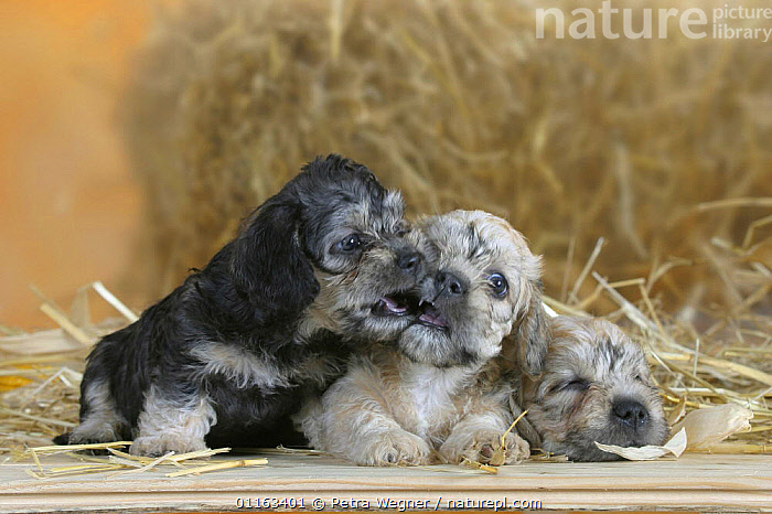 Domestic dog, Dandie Dinmont Terrier puppies, 6 weeks, playing together and sleeping  ,  BABIES,BABY,CUTE,DOGS,JUVENILE,LYING DOWN,PEDIGREE,PETS,PUPPIES,PUPPY,SITTING,STUDIO,TERRIERS,VERTEBRATES,Canids  ,  Petra Wegner