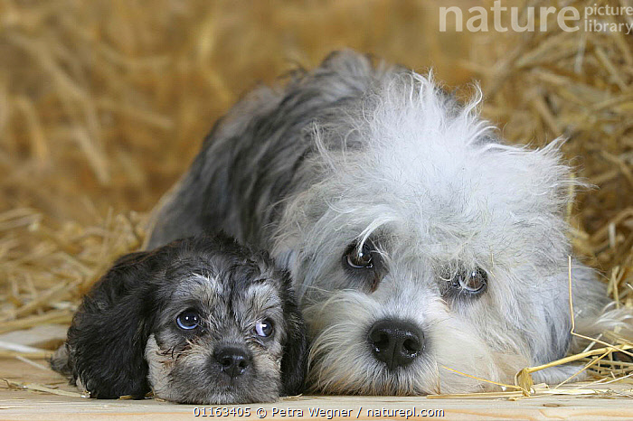 Domestic dog, Dandie Dinmont Terrier with puppy, 6 weeks  ,  BABIES,BABY,CUTE,DOGS,FAMILIES,JUVENILE,LYING DOWN,PEDIGREE,PETS,PUPPIES,PUPPY,STUDIO,TERRIERS,VERTEBRATES,Canids  ,  Petra Wegner