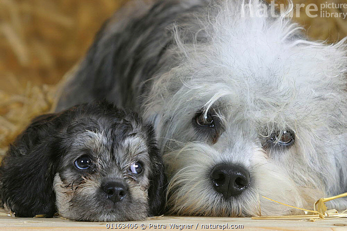 Domestic dog, Dandie Dinmont Terrier with puppy, 6 weeks  ,  BABIES,BABY,CUTE,DOGS,FACES,FAMILIES,JUVENILE,LYING DOWN,PEDIGREE,PETS,PUPPIES,PUPPY,STUDIO,TERRIERS,VERTEBRATES,Canids  ,  Petra Wegner
