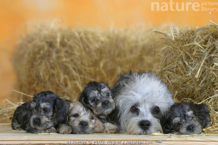 Domestic dog, Dandie Dinmont Terrier with four puppies, 6 weeks  ,  BABIES,BABY,CUTE,DOGS,FAMILIES,JUVENILE,LYING DOWN,PEDIGREE,PETS,PUPPIES,PUPPY,STUDIO,TERRIERS,VERTEBRATES,Canids  ,  Petra Wegner