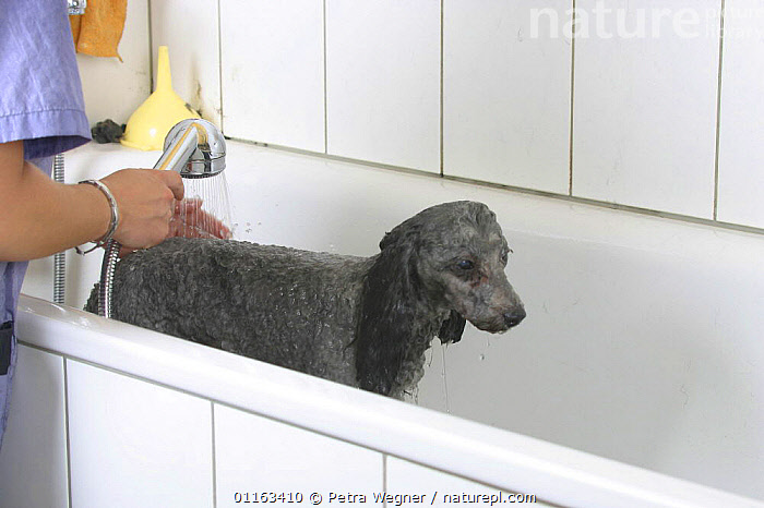 Domestic dog, silver Toy Poodle being washed  ,  BATHING,DOGS,GROOMING,PEDIGREE,PEOPLE,PETS,UTILITY,VERTEBRATES,WASHING,WET,WORKING,Canids  ,  Petra Wegner