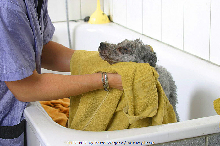 Domestic dog, silver Toy Poodle being dried with towel  ,  BATHING,DOGS,GROOMING,PEDIGREE,PEOPLE,PETS,UTILITY,VERTEBRATES,WET,WORKING,Canids  ,  Petra Wegner