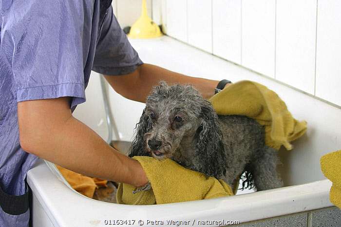 Domestic dog, silver Toy Poodle being dried with towel  ,  BATHING,DOGS,GROOMING,PEDIGREE,PEOPLE,PETS,UTLITY,VERTEBRATES,WET,WORKING,Canids  ,  Petra Wegner