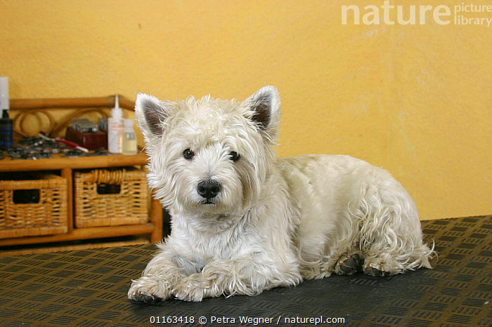 Domestic dog, Westie / West Highland White Terrier on trimming table  ,  DOGS,GROOMING,PEDIGREE,PETS,TERRIERS,VERTEBRATES,Canids  ,  Petra Wegner