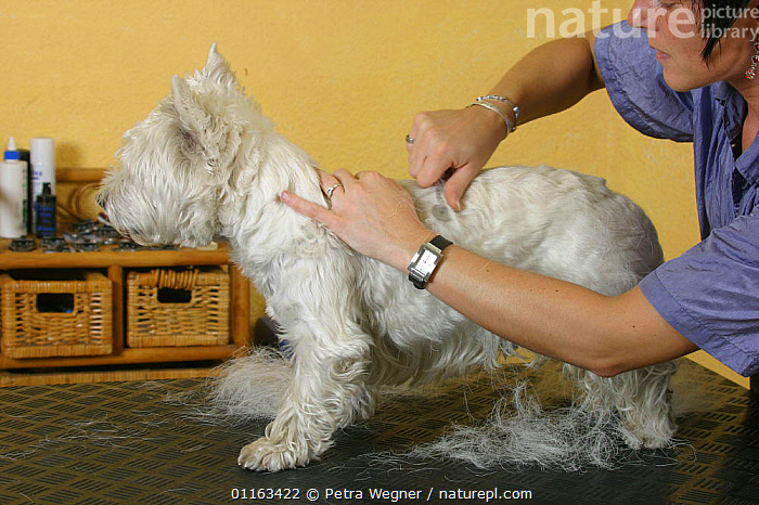 Woman trimming West Highland White Terrier / Westie  ,  DOGS,GROOMING,PEDIGREE,PEOPLE,PETS,TERRIERS,VERTEBRATES,Canids  ,  Petra Wegner