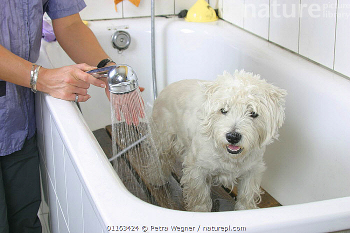 Domestic dog, West Highland White Terrier / Westie being showered  ,  BATHING,DOGS,GROOMING,PEDIGREE,PEOPLE,PETS,TERRIERS,VERTEBRATES,WASHING,WET,Canids  ,  Petra Wegner