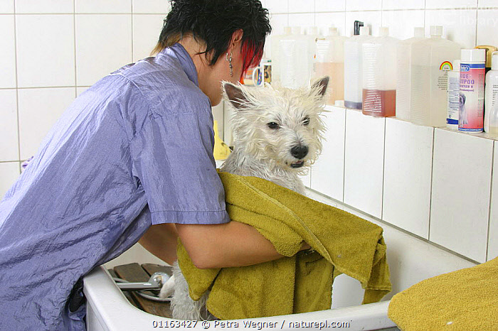 Woman drying West Highland White Terrier / Westie with towel  ,  BATHING,DOGS,GROOMING,PEDIGREE,PEOPLE,PETS,TERRIERS,VERTEBRATES,WET,Canids  ,  Petra Wegner