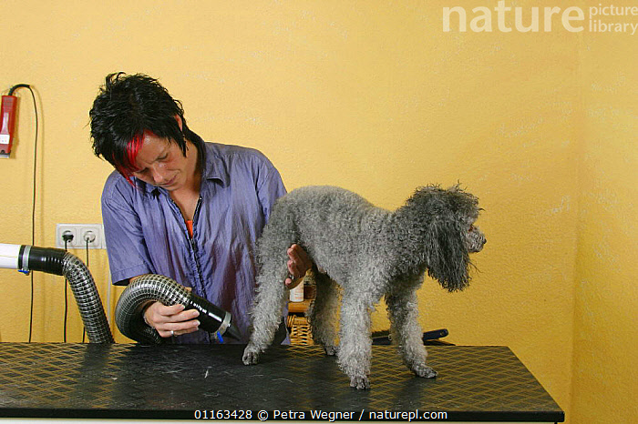 Woman blow drying silver Toy Poodle  ,  DOGS,GROOMING,PEDIGREE,PEOPLE,PETS,UTILITY,VERTEBRATES,WORKING,Canids  ,  Petra Wegner