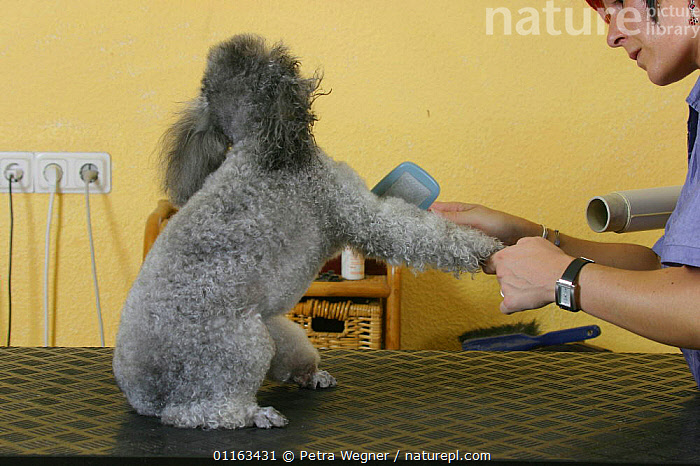 Woman blow drying silver Toy Poodle  ,  DOGS,GROOMING,PEDIGREE,PEOPLE,PETS,SITTING,UTILITY,VERTEBRATES,WORKING,Canids  ,  Petra Wegner