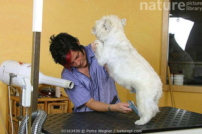 Woman blow drying West Highland White Terrier / Westie  ,  DOGS,GROOMING,PEDIGREE,PEOPLE,PETS,TERRIERS,VERTEBRATES,Canids  ,  Petra Wegner