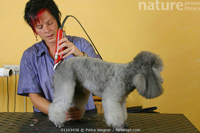Woman shearing silver Toy Poodle  ,  DOGS,GROOMING,PEDIGREE,PEOPLE,PETS,UTILITY,VERTEBRATES,WORKING,Canids  ,  Petra Wegner