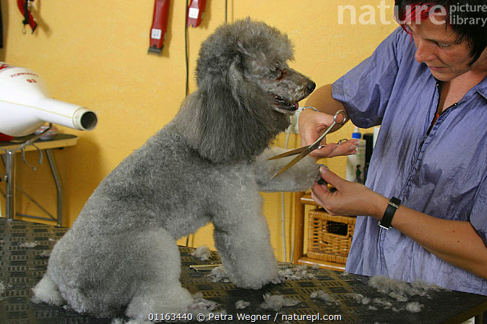 Woman shearing silver Toy Poodle with scissors  ,  DOGS,GROOMING,PEDIGREE,PEOPLE,PETS,SITTING,UTILITY,VERTEBRATES,WORKING,Canids  ,  Petra Wegner