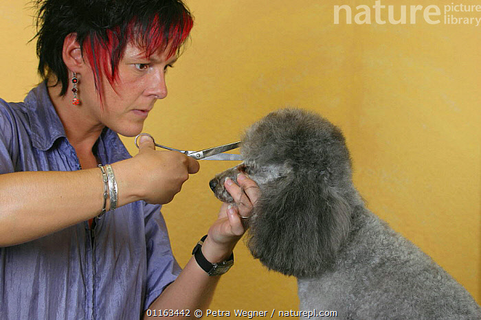 Woman shearing silver Toy Poodle with scissors  ,  DOGS,GROOMING,PEDIGREE,PEOPLE,PETS,UTILITY,VERTEBRATES,WORKING,Canids  ,  Petra Wegner
