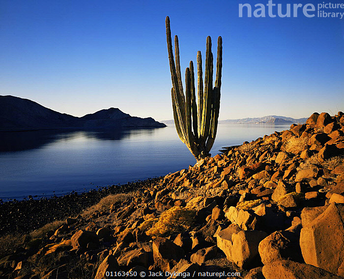 Solitary Cadon cactus (Pachycereus pringlei) growing in scree next to the Sea of Cortes, sunrise, Isla Angel de la Guarda / Archangle Island, Baja California, Mexico  ,  CACTI,CACTUS,DESERTS,GULF OF CALIFORNIA,LANDSCAPES,MEXICO,NORTH AMERICA,NORTH AMERICA,PLANTS,SEA,WATER,CENTRAL-AMERICA  ,  Jack Dykinga