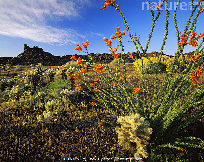 Ocotillo (Fouquieria splendens) flowering with Teddy bear cholla (Opuntia bigelovii). Inactive lava flow in background, Biosphere Reserve of the Pinacate and Gran Desierto Altar, Mexico  ,  CACTI,CACTUS,CENTRAL AMERICA,CENTRAL AMERICA,DESERTS,FLOWERS,LANDSCAPES,LAVA,MEXICO,SONORAN,VOLCANICS,Plants,CENTRAL-AMERICA  ,  Jack Dykinga