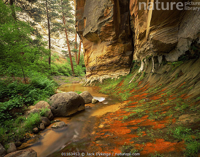 Red algae on seeps along stream, Death Hollow, Grand Staircase-Escalante National Monument, Utah, USA  ,  GEOLOGY,LANDSCAPES,NORTH AMERICA,NORTH AMERICA,PLANTS,PONDEROSA,ROCK FORMATIONS,STREAMS,USA,Catalogue1  ,  Jack Dykinga