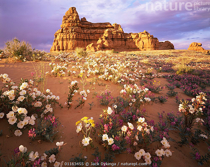 Sandstone hoodoos at sunset with Sawtooth evening primrose (Oenothera pallida) and Locoweed (Astragalus sp) in foreground, San Rafael Desert, Utah, USA  ,  DESERTS,FLOWERS,GEOLOGY,LANDSCAPES,NORTH AMERICA,NORTH AMERICA,ROCK FORMATIONS,USA  ,  Jack Dykinga