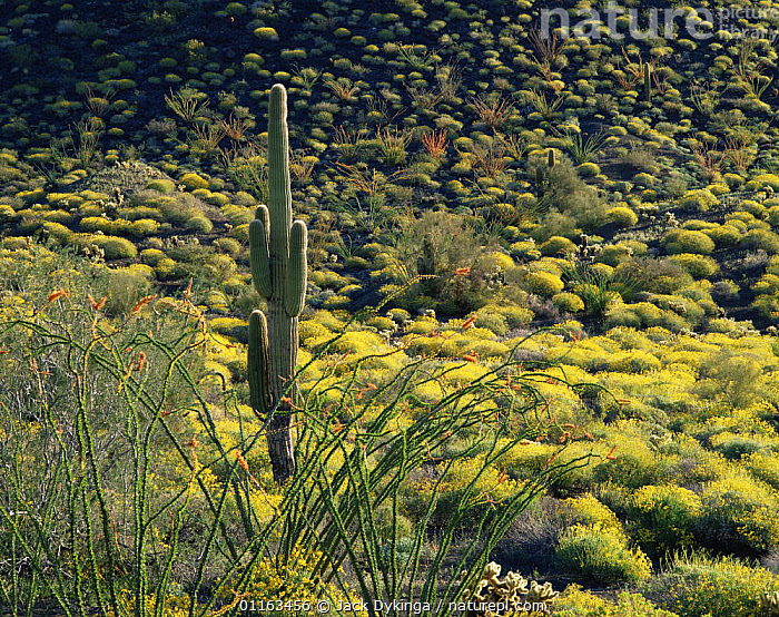 Solitary Saguaro cactus (Carnegiea gigantea)surrounded by Ocotillo (Fouquieria splendens) and other desert plants, Sierra Pinacate, Mexico  ,  CACTI,CENTRAL AMERICA,CENTRAL AMERICA,DESERTS,FLOWERS,LANDSCAPES,MEXICO,PLANTS,SUCCULENTS,CENTRAL-AMERICA  ,  Jack Dykinga