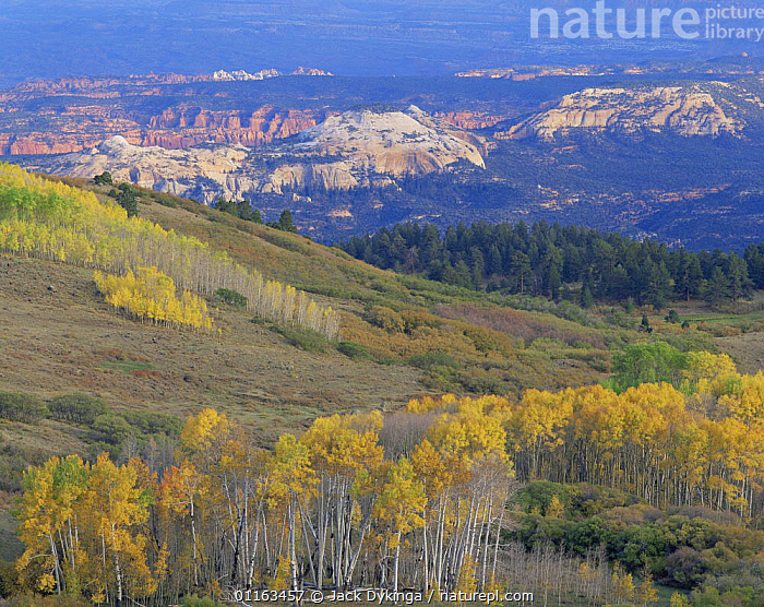 View from Boulder Mountain of the Escalante Canyon complex in autumn, Dixie National Forest, Utah, USA  ,  AERIAL SHOTS,ASPEN,CANYONS,GEOLOGY,LANDSCAPES,NORTH AMERICA,NORTH AMERICA,ROCK FORMATIONS,TREES,USA,Plants  ,  Jack Dykinga