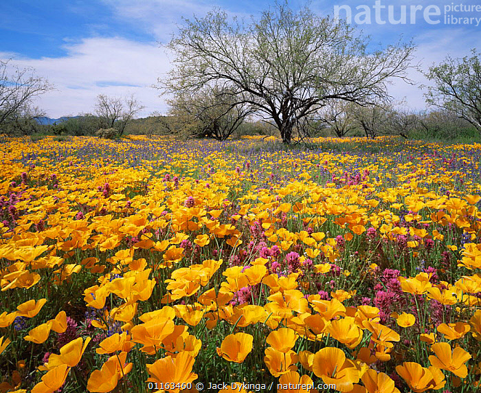 Sonoran desert plain with yellow Poppies (Eschscholtzia californica), Lupins (Lupinus sparsiflorus), and Red Owl's clover (Orthocarpus purpurascens), Quinlan Mountains, Arizona, USA  ,  FLOWERS,LUPIN,MEADOWLANDS,MIXED SPECIES,NORTH AMERICA,NORTH AMERICA,POPPY,SPRING,USA  ,  Jack Dykinga