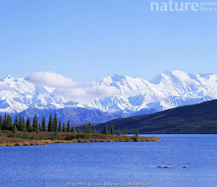 Trumpter Swans (Cygnus cygnus buccinator) on Wonder Lake with a snow covered Mount McKinley in the background, late afternoon, Denali NP, Alaska, USA  ,  CLOUDS,COLD,CONIFERS,ICE,LAKES,LANDSCAPES,MOUNTAINS,NORTH AMERICA,NORTH AMERICA,PINES,SNOW,TREES,USA,Weather,Plants  ,  Jack Dykinga