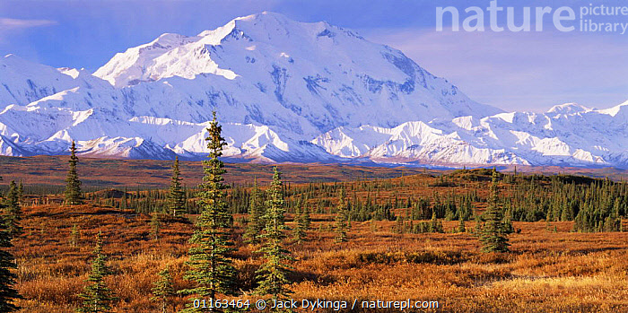 Black spruce (Picea mariana) in tundra habitat  with snow covered Mount McKinley in the background, Denali NP, Alaska, USA  ,  CLOUDS,COLD,CONIFERS,LANDSCAPES,MOUNTAINS,NORTH AMERICA,NORTH AMERICA,PINES,SNOW,TREES,USA,Weather,Plants  ,  Jack Dykinga