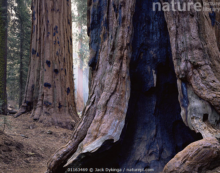 Trunk of Giant Sequoia tree {Sequoiadendron giganteum} showing scars from ancient fires, Sequoia NP, California, USA  ,  CONIFEROUS,CONIFERS,FIRE,FOREST,GYMNOSPERMS,NORTH AMERICA,PLANTS,RESERVE,TAXODIACEAE,TREES,TRUNKS,USA,Catalogue1  ,  Jack Dykinga