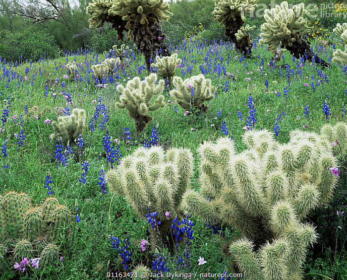 Fields of Lupins {Lupinus sparsiflorus} and Teddy Bear cactus {Opuntia bigelovii} Superstition mountains, Tonto National Forest, Arizona, USA  ,  CACTI,FLOWERS,LANDSCAPES,LUPIN,MIXED SPECIES,NORTH AMERICA,PLANTS,RESERVE,USA  ,  Jack Dykinga