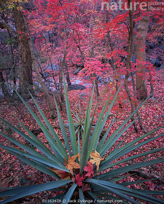 Yucca {Yucca schottii} amongst Bigtooth maple {Acer grandidentatum} trees in autumn colours, Huachuca mountains, Coronado National Forest, Arizona, USA  ,  ACERACEAE,DICOTYLEDONS,GOLDEN,LEAVES,MIXED SPECIES,NORTH AMERICA,ORANGE,PLANTS,RESERVE,USA,VERTICAL  ,  Jack Dykinga