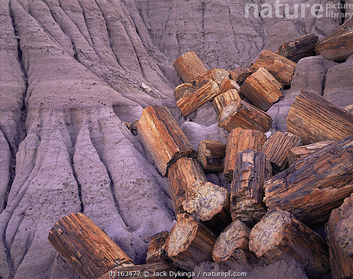Blue mesa, petrified log sections in eroded grey clay, Petrified Forest NP, Arizona, USA  ,  ANCIENT,FOSSILS,LOGS,NORTH AMERICA,RESERVE,TREES,USA,Plants  ,  Jack Dykinga