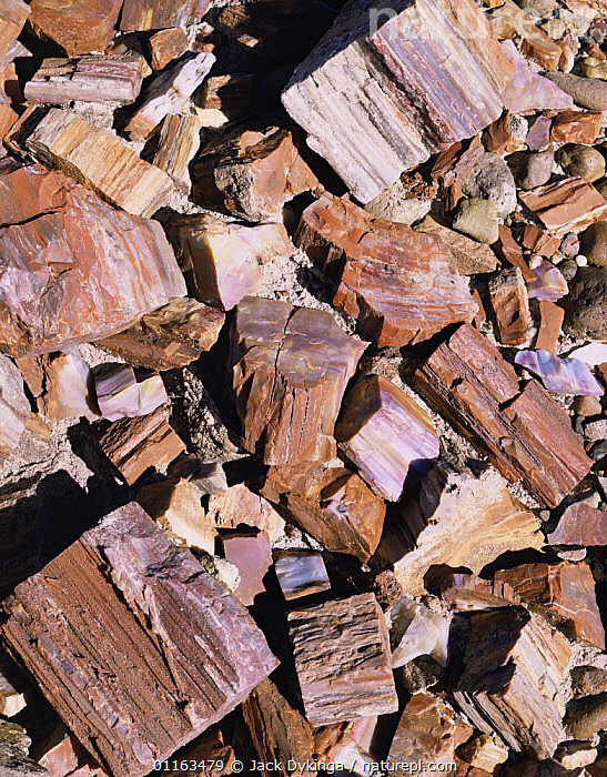 Petrified log sections showing crystallisation, Petrified Forest NP, Arizona, USA  ,  ANCIENT,FOSSILS,LOGS,NORTH AMERICA,RESERVE,TREES,USA,VERTICAL,Plants  ,  Jack Dykinga