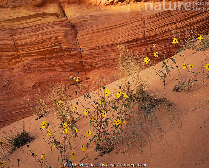 Sunflowers {Helianthus sp} flowering on petrified sand dune formations of Colorado plateau, Paria Canyon / Vermilion Cliffs Wilderness, Arizona, USA  ,  ANCIENT,ASTERACEAE,COMPOSITAE,DICOTYLEDONS,FLOWERS,LANDSCAPES,NORTH AMERICA,PLANTS,RESERVE,SUNFLOWER,USA  ,  Jack Dykinga