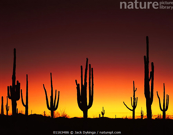 Saguaro cacti {Carnegiea gigantea} silhouetted in the sunset afterglow of Mount Pinatubo eruption in the Philippines, Cabeza Prieta National Wildlife Refuge, Arizona, USA, 1991  ,  CACTUS,LANDSCAPES,NORTH AMERICA,PLANTS,RESERVE,SIHOUETTES,USA,VERTICAL,VOLCANOES,WEATHER,Geology  ,  Jack Dykinga