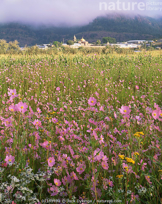 Wildflowers in meadow in front of Cerocahui village and Catholic mission buildings, Barranca del Cobre NP, Chihuahua, Mexico  ,  CENTRAL AMERICA,CHURCH,FLOWERS,LANDSCAPES,MEXICO,PLANTS,RESERVE,VERTICAL,VILLAGES,CENTRAL-AMERICA  ,  Jack Dykinga