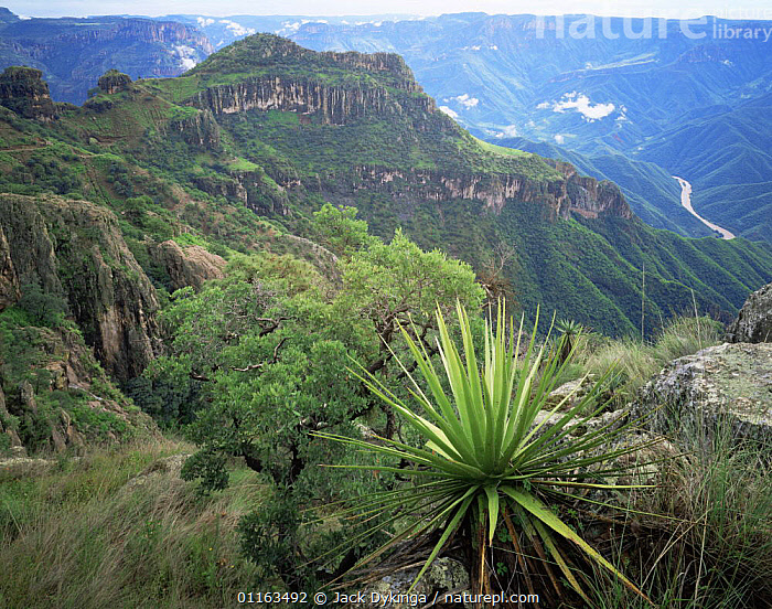 Yucca {Yucca schottii} with Urique river canyon in background, Barranca del Cobre NP, Chihuahua, Mexico  ,  CENTRAL AMERICA,LANDSCAPES,MEXICO,PLANTS,RESERVE,RIVERS,CENTRAL-AMERICA  ,  Jack Dykinga