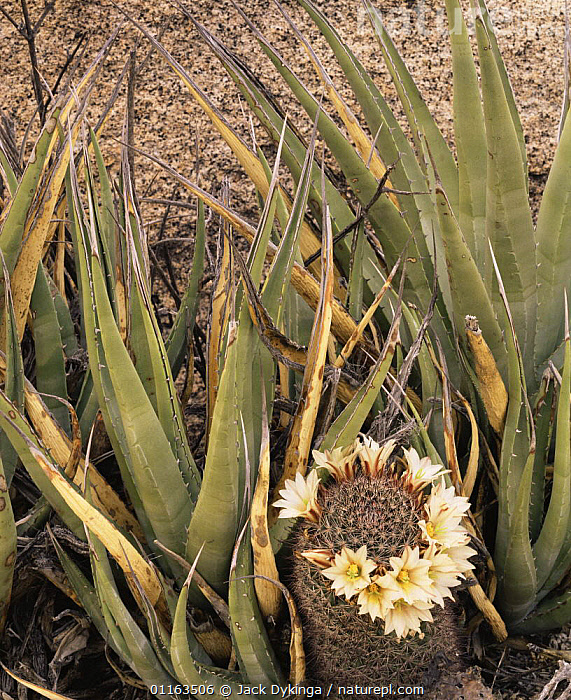 Flowering Pincushion / Fishhook cactus {Mammillaria sp} and Agave {Agave sp} nr Catavina, Desierto Central, Baja California, Mexico  ,  CACTI,CENTRAL AMERICA,DESERTS,FLOWERS,MEXICO,MIXED SPECIES,PLANTS,RESERVE  ,  Jack Dykinga