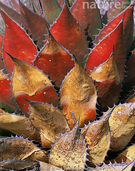 Red, weathered leaves of Coastal agave / Century plant {Agave shawii} Desierto Central, Baja California, Mexico  ,  AGAVACEAE,AGAVES,CENTRAL AMERICA,DESERTS,MEXICO,MONOCOTYLEDONS,PLANTS,RESERVE,VERTICAL  ,  Jack Dykinga