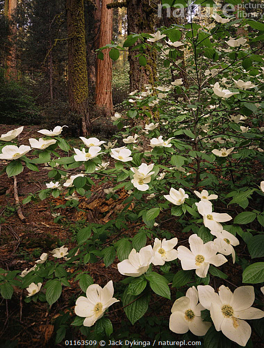 Pacific dogwood {Cornus nuttallii} flowering amongst Giant sequoia trees {Sequoiadendron giganteum} and White fir trees {Abies concolor} Sequoia NP, California, USA  ,  CONIFEROUS,DICOTYLEDONS,FLOWERS,FOREST,NORTH AMERICA,NYSSACEAE,PLANTS,RESERVE,UNDERSTOREY,USA , understory  ,  Jack Dykinga