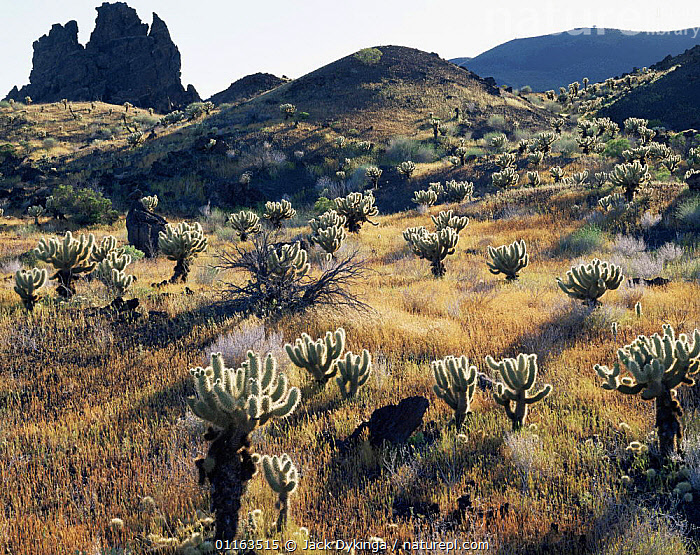 Teddy bear cholla cactus {Opuntia bigelovii} growing amongst grass on volcanic lava flow, Biosphere Reserve of Pinacate and Gran Desierto Altar, Sonora, Mexico  ,  CACTI,CENTRAL AMERICA,DESERTS,LANDSCAPES,MEXICO,PLANTS,RESERVE,CENTRAL-AMERICA  ,  Jack Dykinga