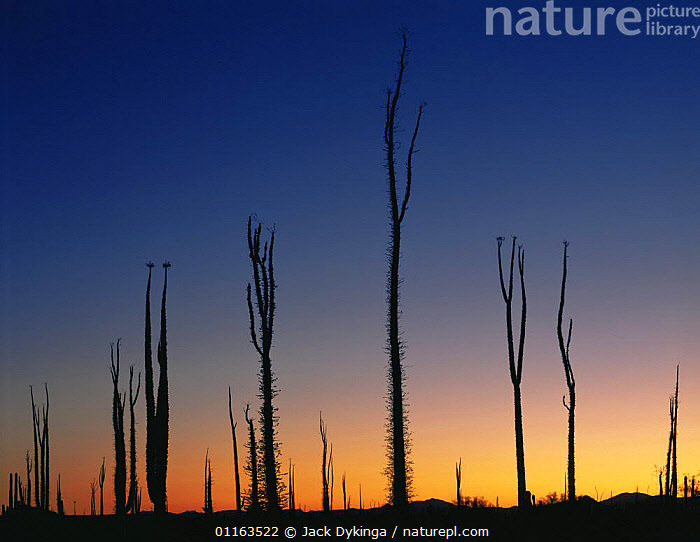 Boojum trees {Fouqueira / Indria columnaris} silhouetted at sunset, nr Catavina, Baja California, Mexico  ,  CENTRAL AMERICA,DESERTS,GROUPS,LANDSCAPES,MEXICO,PLANTS,RESERVE,SILHOUETTES,TREE,CENTRAL-AMERICA  ,  Jack Dykinga