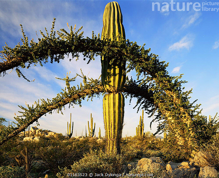 Boojum tree {Fouqueira / Indria columnaris} and Cardon cactus {Pachycereus pringlei} Baja California, Mexico  ,  CACTI,CENTRAL AMERICA,DESERTS,LANDSCAPES,MEXICO,MIXED SPECIES,PLANTS,RESERVE,CENTRAL-AMERICA  ,  Jack Dykinga